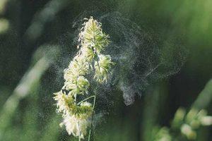 Αλλεργιογόνα φυτά